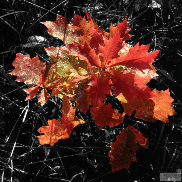 Oak_Leaves_Fall_crop.jpg