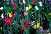 tulips37_11_08cmyk.jpg