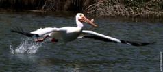 Pelican Takes Off 5 10 2020 049.jpg