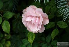 Pink_Rose_9_14.jpg