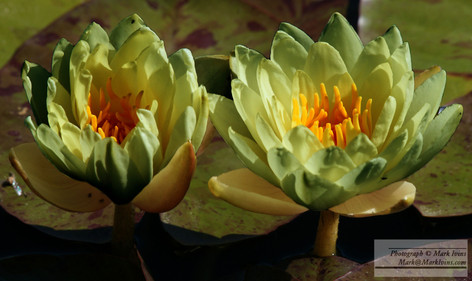 Yellow_Water_Lillies.jpg