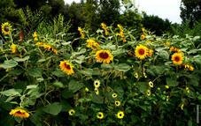 Sun Flowers 9th Ave 0030.jpg