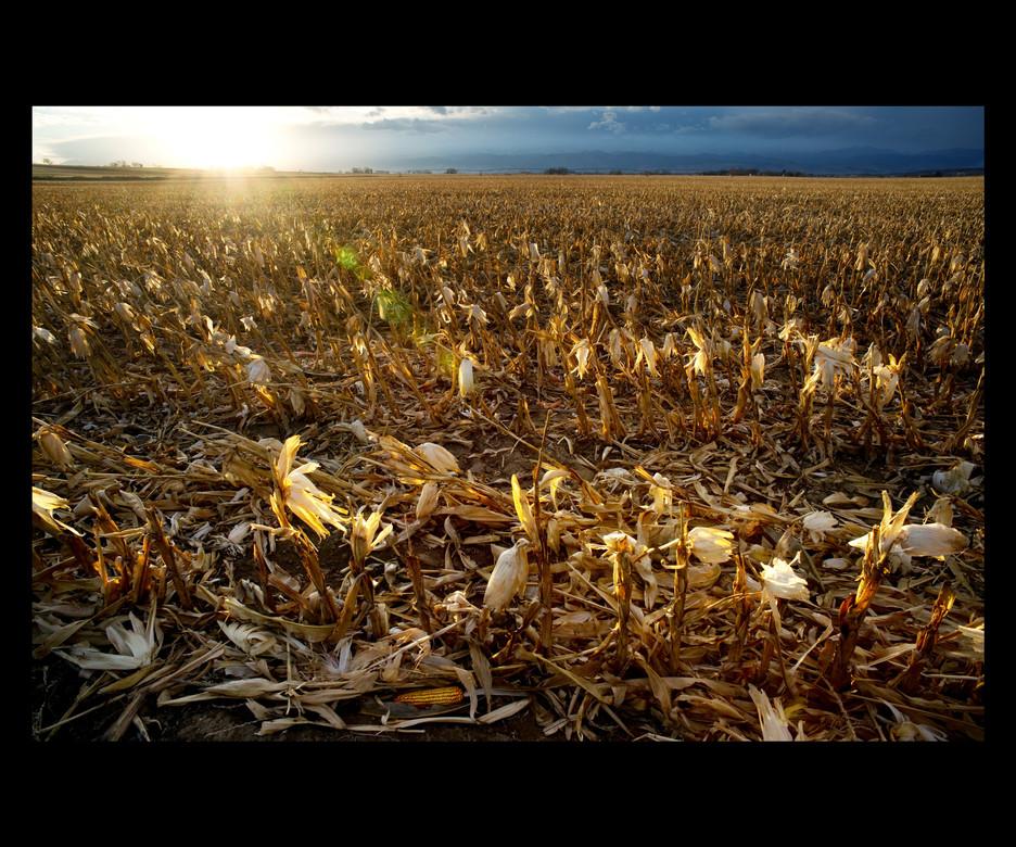 Corn field Fall1668 5 3 2011.jpg