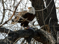 Eagle with Fish 3 28 2020 4854.jpg