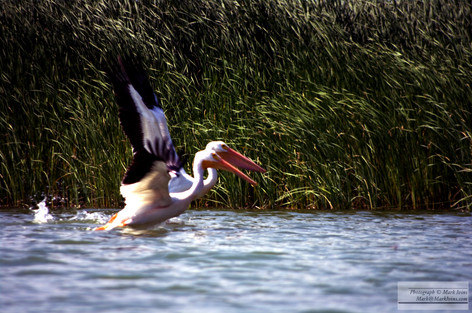 2_Pelicans.jpg