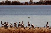 Pelicans 0008.jpg