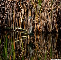 Gray Heron 2578.jpg