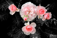 804_Roses.jpg