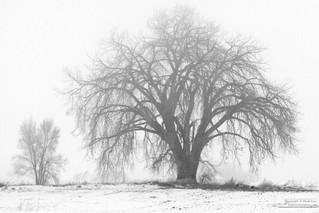 Tree_in_Winter_Fog0227.jpg
