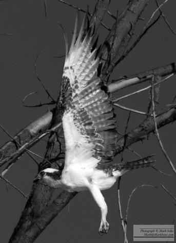 Hawk_0_2017_A.jpg