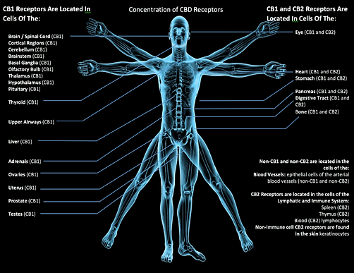 Endocannabinoid_System_copy_880x.png