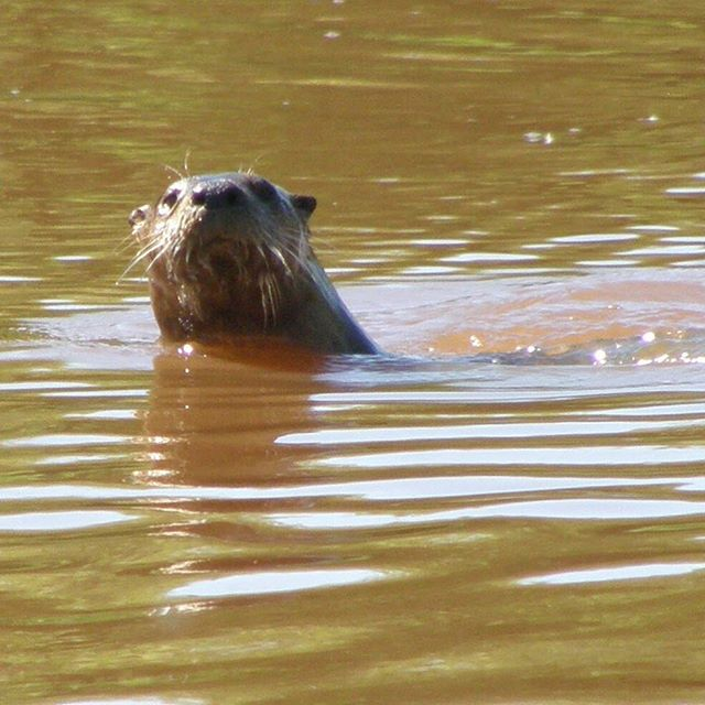 River otters are one of our favorite ani