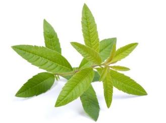 Herbal Medicine Garden: Lemon Verbena