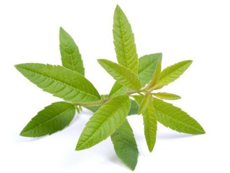 Herbal Medicine Garden: Lemon Verbena