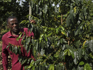 Coffee Production May Drop 50 Percent Thanks To Climate Change