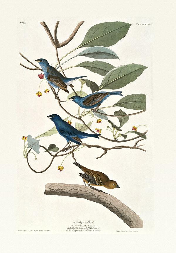 Plate 74-Indigo Bird Princeton edition.j
