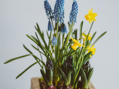 Growing Bulbs in Pots: A New Technique for Small Space Gardens