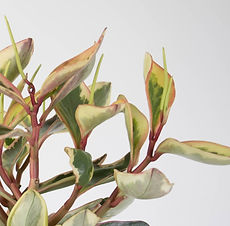 Peperomia-Tricolour-Close-Up-e1472522810