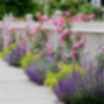 Pink climbing roses on white fence borde