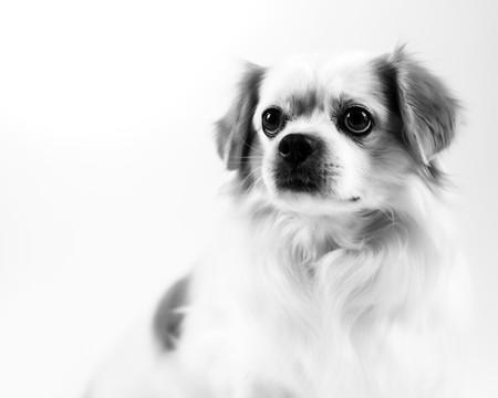 Toby, Tibetan Spaniel .jpg