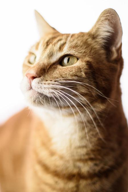 Perry, Ginger Tabby Cat.jpg
