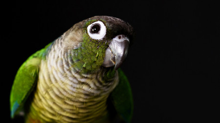 Green Cheek Conure close up_Fur Baby Pho