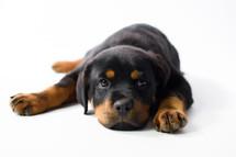 Valley, Rottweiler Puppy.jpg