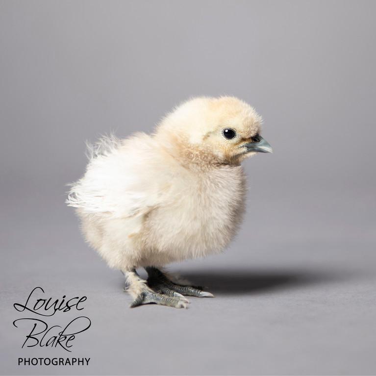 Silkie Chick, white, _Popcorn_ 2 weeks old.jpg