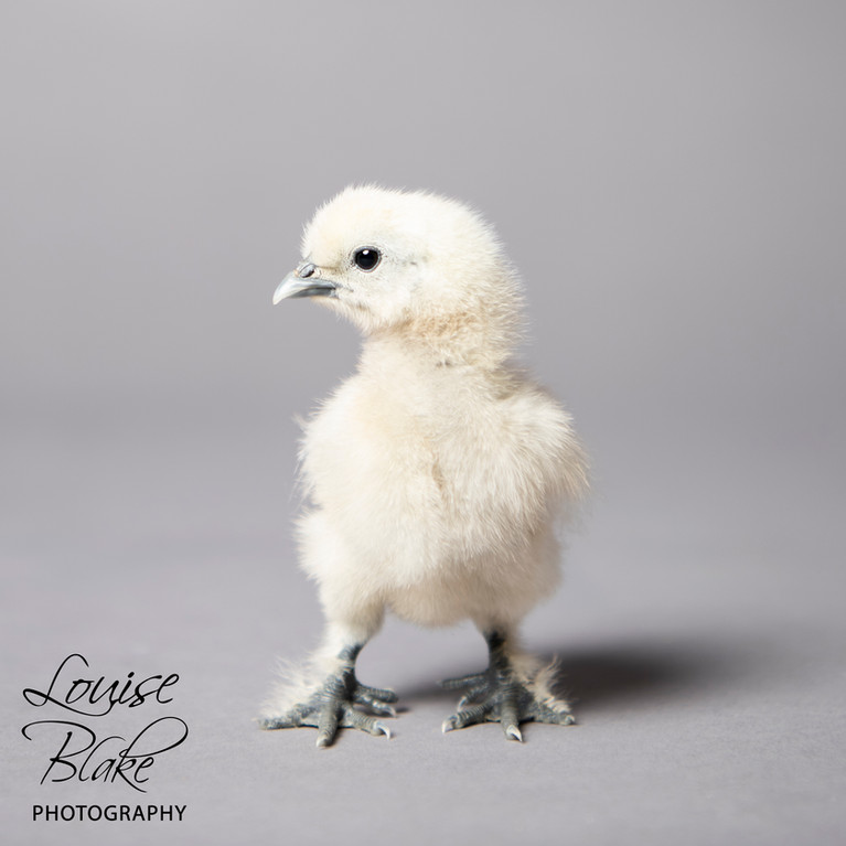 Silkie Chick, White, _Milkshake_ 2 weeks old.jpg