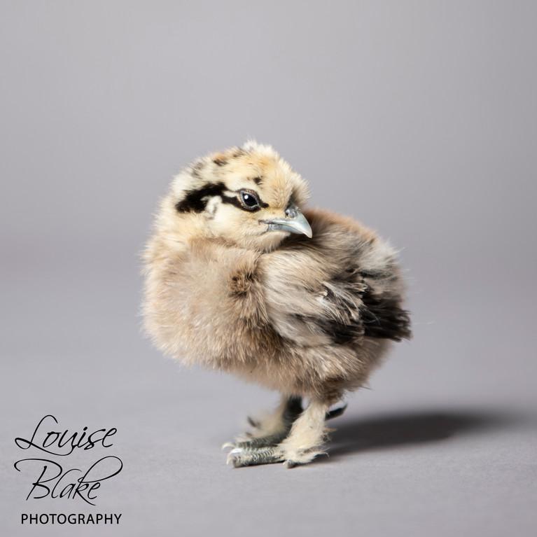 Silkie Chick, PArtridge, _Pepper_ 2 weeks old.jpg