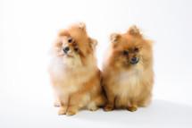 Pomeranian brothers.jpg