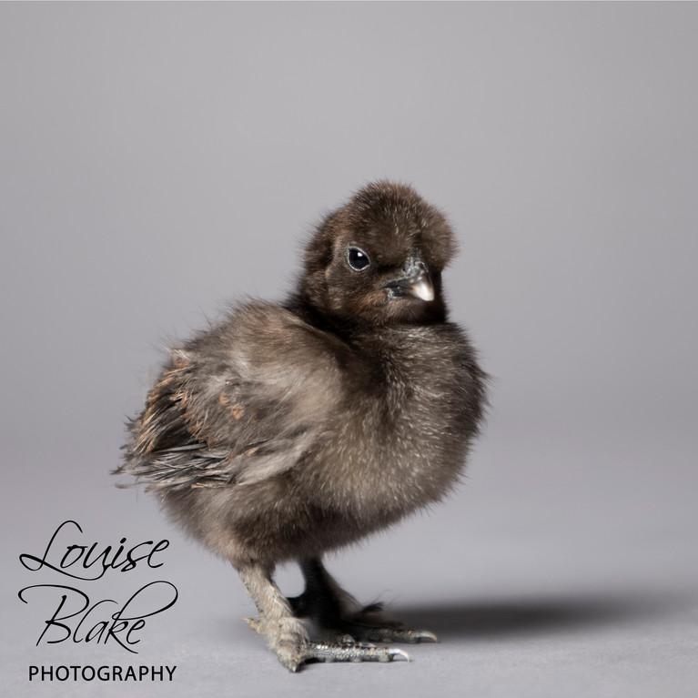 Silkie Chick, black, _Fluffy_ 2 weeks old.jpg