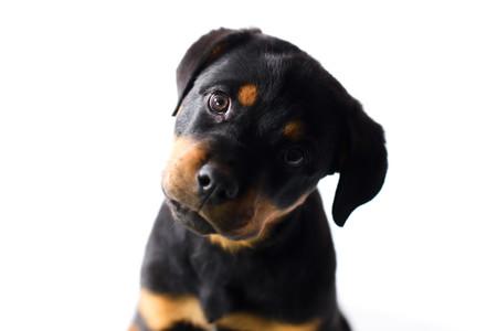 Rottweiler Puppy Expresion.jpg
