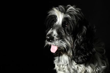 Cocker Spaniel Portrait.jpg