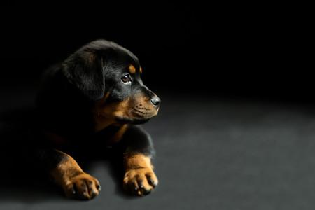 Rottweiler Pup, Valley w.jpg