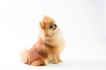 Cino Pomeranian sitting.jpg