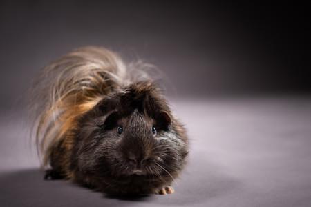 Nibbles Guinea Pig 3.jpg