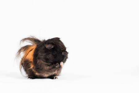 Nibbles Guinea Pig 1.jpg