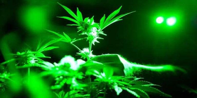green_worklight_marijuana.jpg