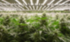 Pozeen Cannabis Grow Light.jpg