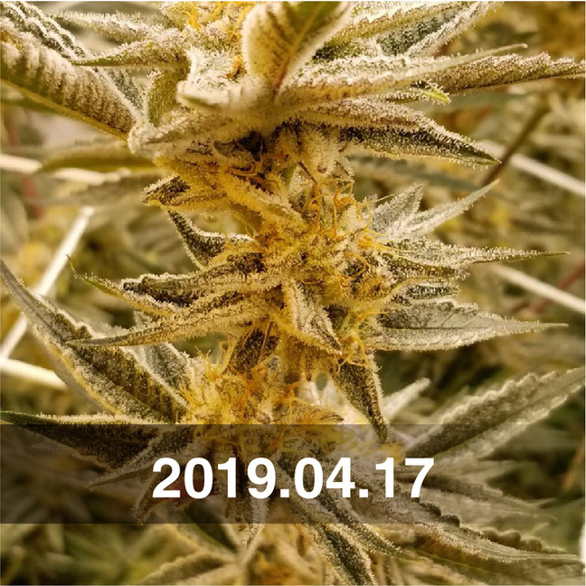 Pozeen_Cannabis_Field_Testing_0314.jpg