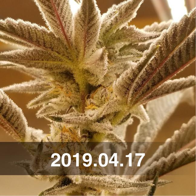 Pozeen_Cannabis_Field_Testing_0417.jpg