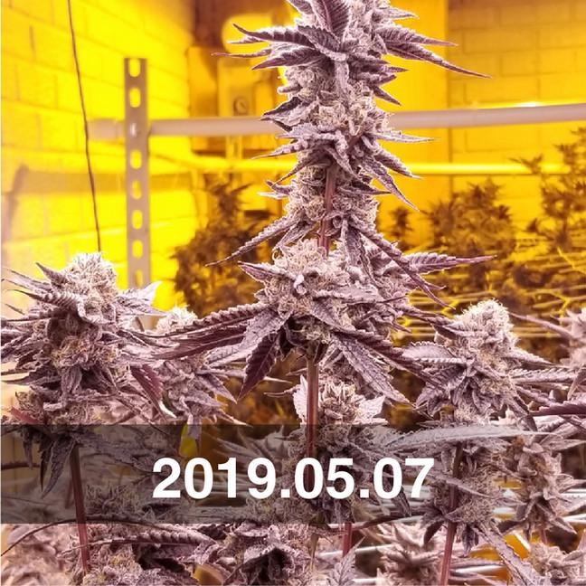 Pozeen_Cannabis_Field_Testing_0507.jpg