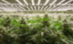 Pozeen Cannabis Grow Light.jpg