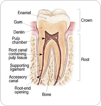 tooth structuRoot canal therapy, endodontic treatmente,