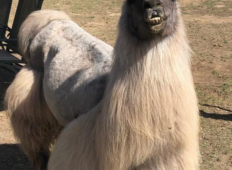 Smokey the Llama Therapist