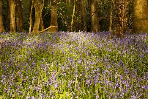Bluebell Floor- Oversley Wood