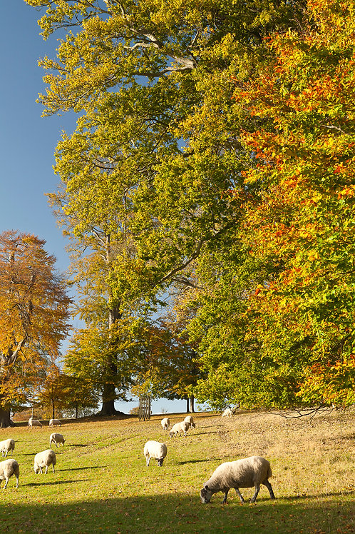 Vibrant Autumn- Blenheim Park