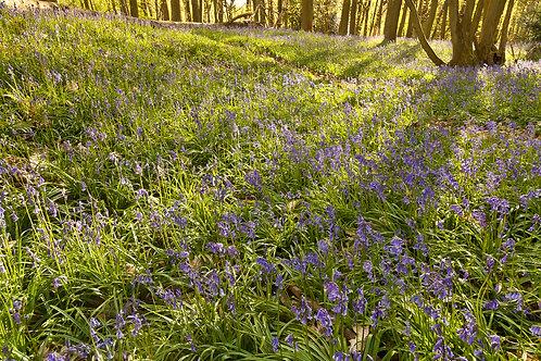 Bluebell Delight- Oversley Wood