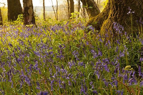 Bluebell Fairytale- Oversley Wood